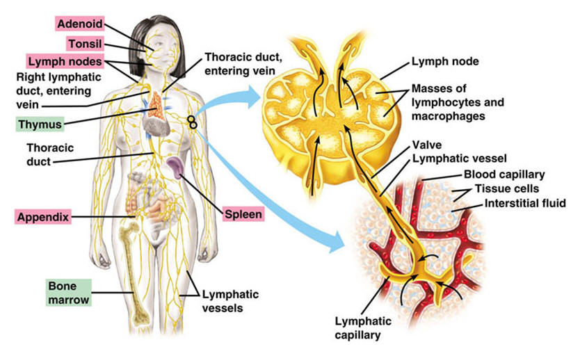 how to drain and cleanse the lymphatic system, Human Body