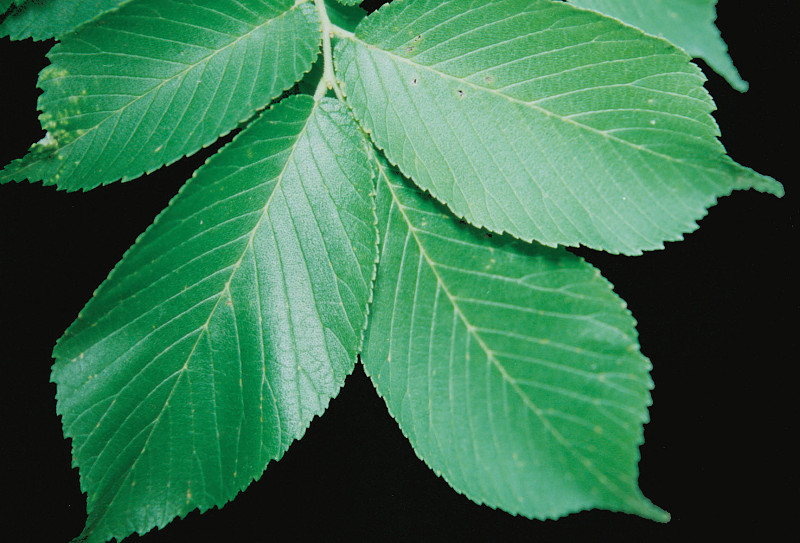 slippery elm tree leaves leaky gut syndrome
