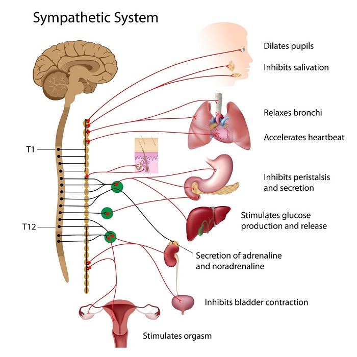SNS-activation-physiology