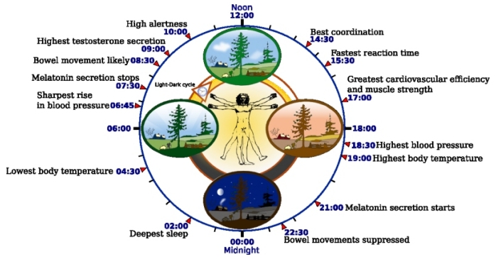 circadian-rhythm-clock
